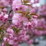 2015八重桜その1
